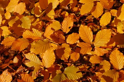 Orange Beech tree foliage in the fall