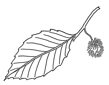 Beech tree leaf and burr drawing