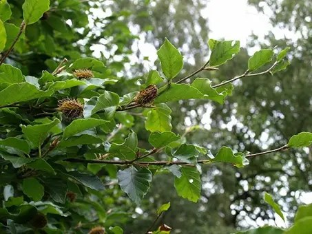 Beech tree branch with visible burrs