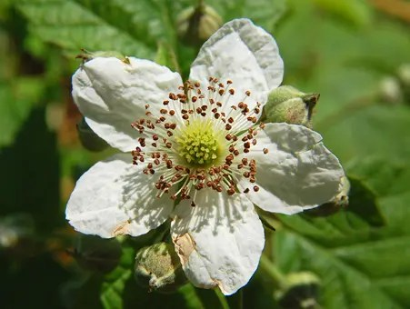 Close-up of a Blackberry flower