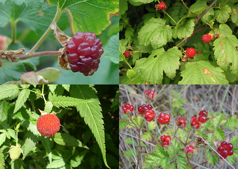 Four different kinds of Raspberry plants