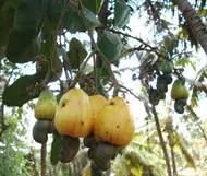 Cashew tree (Anacardium occidentale) with Cashews