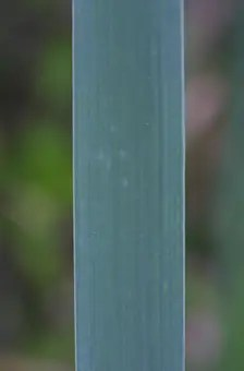 Close-up view of broad leaf Cattail plant