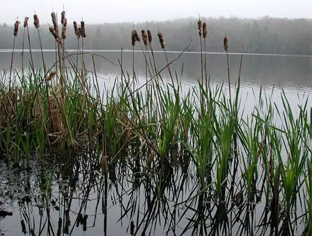 Cattail plant growing in shallow water