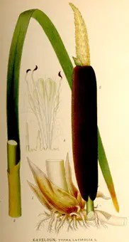 Color drawing of Cattail plant and its components