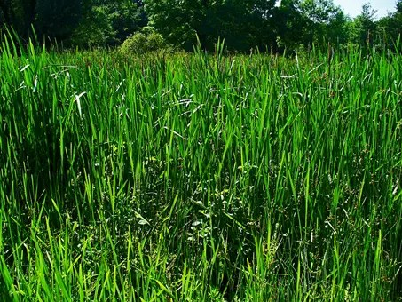 Dense field of Cattail plants