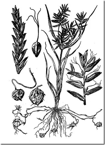 Drawing of Chufa plant components