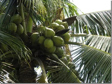 Bunch of coconuts in a Coconut tree