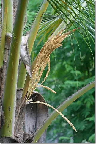 Coconut tree flowers
