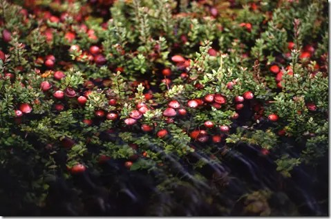 Cranberry plants creeping low to the ground