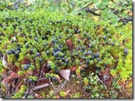 Grouping of Crowberry plants