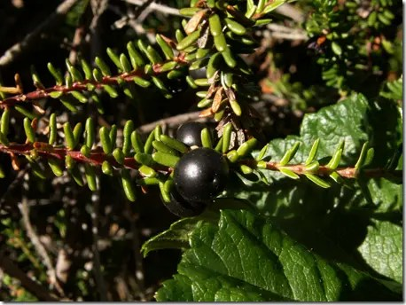 Crowberry leaves and berries