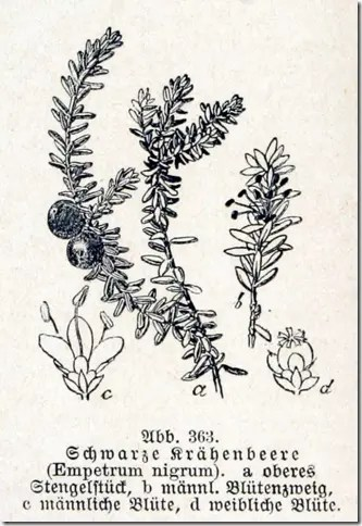 Diagram of Crowberry plant