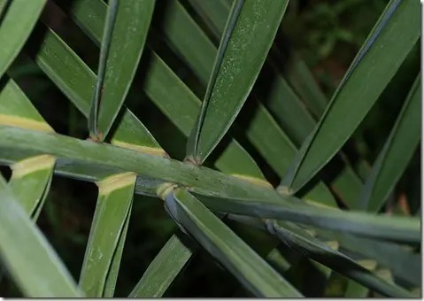 Close-up of Date palm leaves