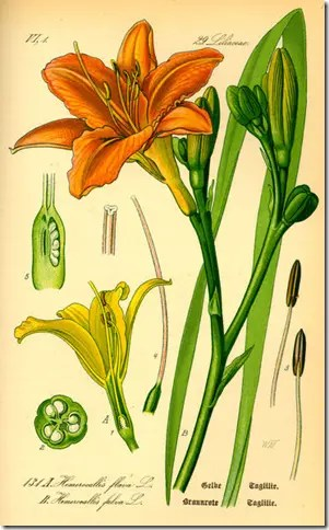 Color drawing of Daylily and its components