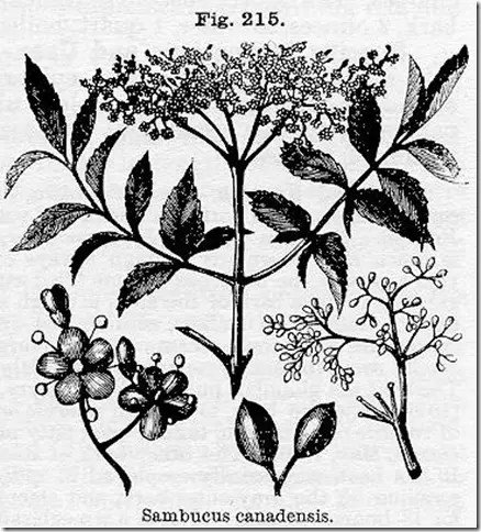 Classic drawing of Elderberry plant