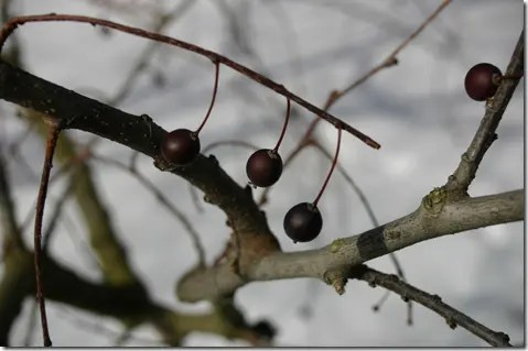 Hackberry berries on branch