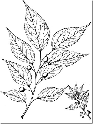 Drawing of Hackberry leaf and berries
