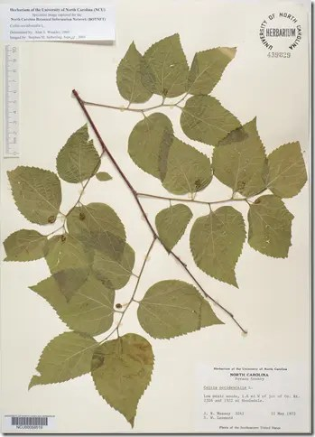Color plate showing Hackberry branch and leaves