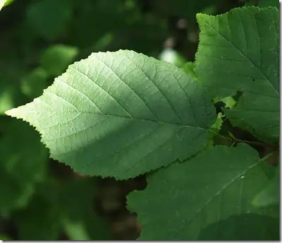 Close-up of Hazelnut leaf showing rounded leaf with double-serrated edges