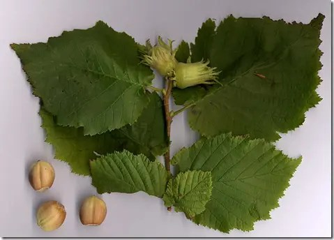 Hazelnut leaves, buds, and nuts (fruit)