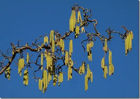 Hazelnut catkins on female tree