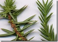 Juniper needle-like leaves
