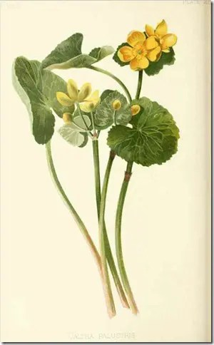 Color drawing of Marsh marigold