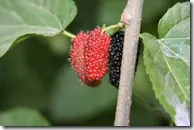 Mulberry berries (click to enlarge)