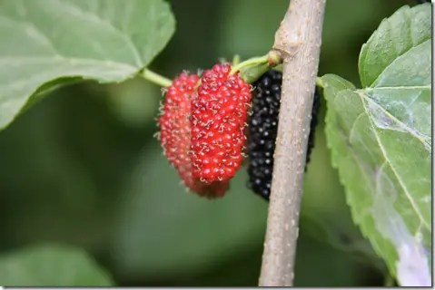 Ripening (left) and ripe (right) Mulberry berries