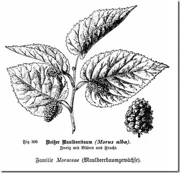 Drawing of Mulberry leaves and fruit