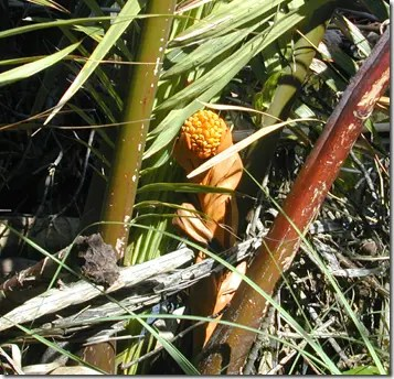 Nipa palm flowers can be boiled to make tea