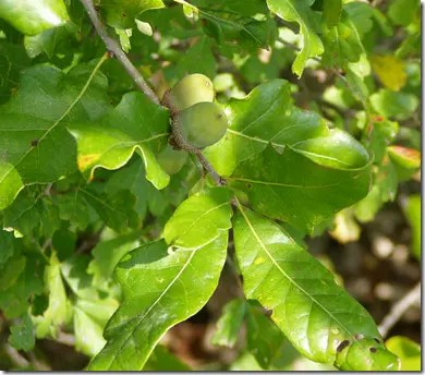Green acorns on an Oak tree (only ripe acorns should be eaten)