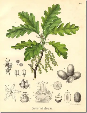 Drawing of a Oak tree and its components