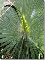 The fan-like leaves of the Sabal Palmetto palm tree