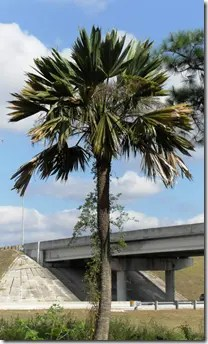 Sabal Palmetto palm tree in Florida