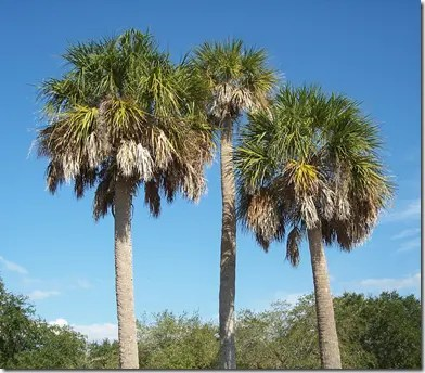 A small grove of Sabal Palmetto palm trees