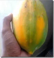 Ripening Papaya fruit turns from green to orangish-yellow