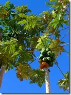Papaya fruit hanging from a tree