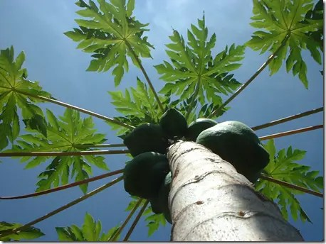 Looking up the Papaya tree, the distinct leaves and Papaya fruit