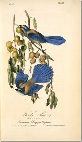 Color drawing showing birds eating Persimmon fruit