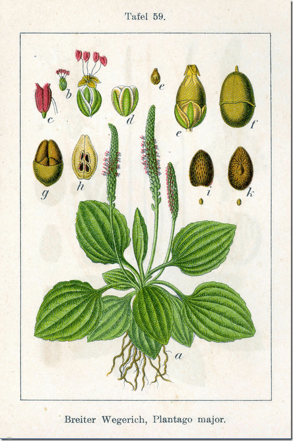 Color drawing of broad leaf Plantain plant and its components