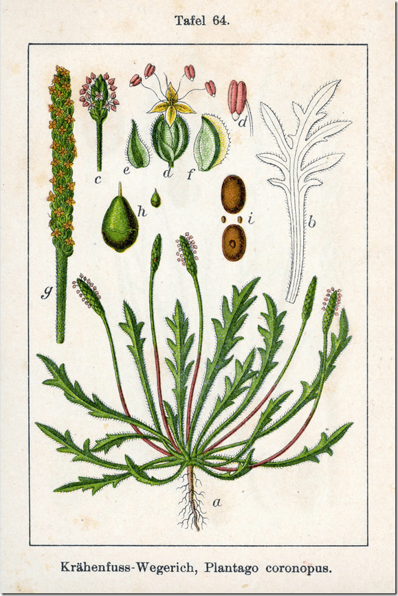 Color drawing of narrow leaf Plantain plant and its various components