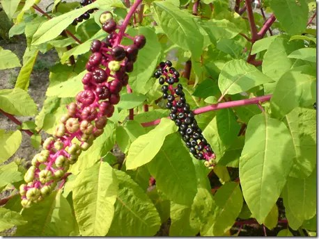 Mature Pokeweed plant and berries