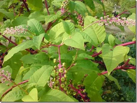 Mature Pokeweed plant with plenty of red stems visible