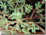 Purslane spreading plant