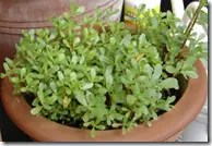 Cultivated Purslane in a pot
