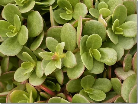 Close up of Purslane leaves