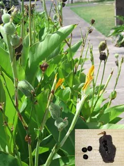 Canna Lily plant and seeds