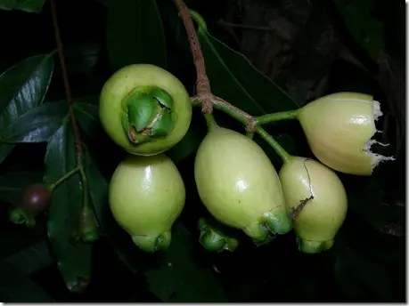 Rose Apple fruit on the branch
